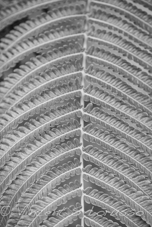 black and white fern.