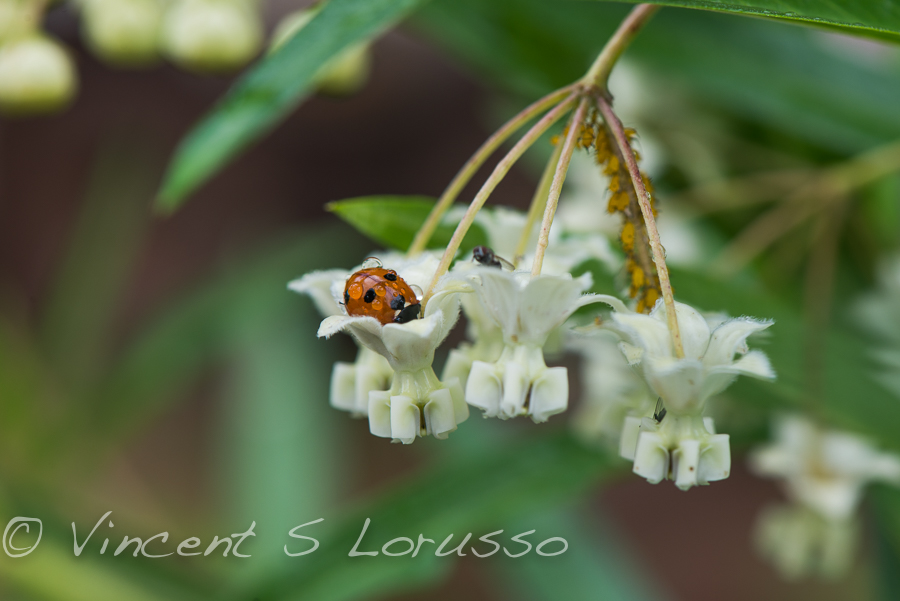 Ladybug in the rain.