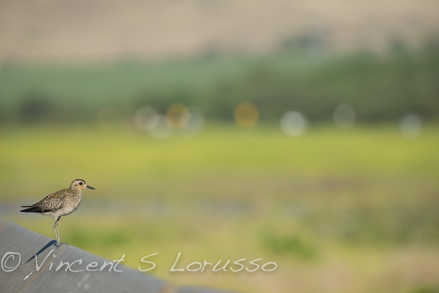 The Pacific Golden Plover.