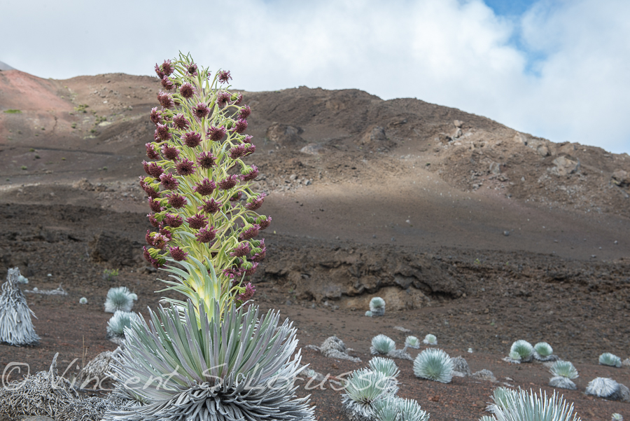 Silversword in bloom.