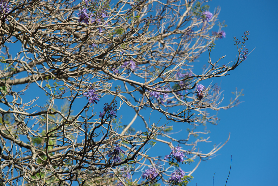 Just a few weeks away from jacaranda heaven.